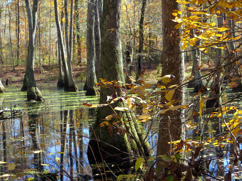 Cypress Swamp - Natchez Trace Fall Foliage