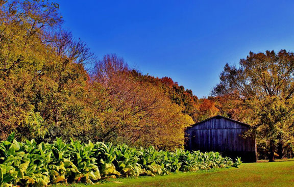 Tobacco Barn - Tennessee Fall Foliage