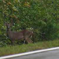 Deer are plentiful and often seen along the parkway.