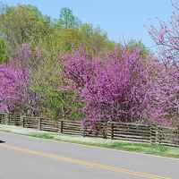 Natchez Trace Parkway: Nashville - Franklin | Riding with the top down and redbuds in bloom.