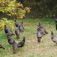 Natchez Trace Parkway: Nashville - Franklin | A flock of turkeys near the northern terminus.