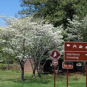 Dogwood trees blooming in the spring.