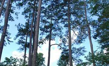 Towering pine trees shade the picnic area at Coles Creek.
