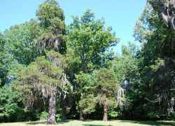 These Eastern Redcedar trees have been standing over the front lawn of the Shaifer House for almost 200 years.