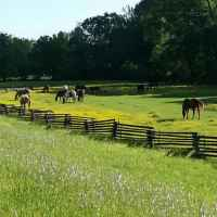 Horses grazing at French Camp.