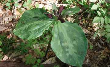 Red Trillium at Donivan Slough.