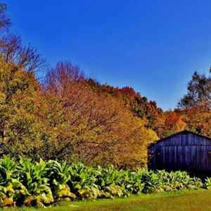 Columbia - Centerville area: Tobacco ready to harvest at the Tobacco Farm.