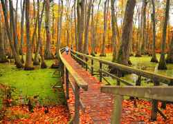 Brilliant orange and yellow fall colors at Cypress Swamp.